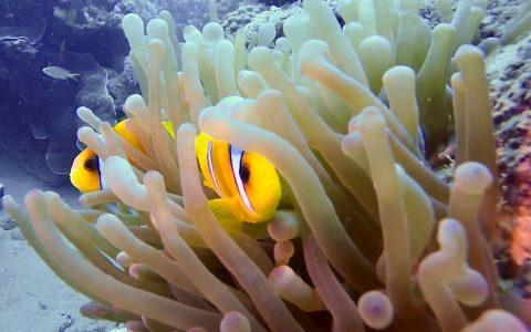 Marsa Alam - Clown Fish