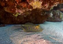 Marsa Alam - Blue Dotted Stingray
