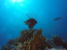 Marsa Alam - Lion fish 1