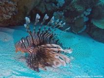Marsa Alam - Lion fish 2
