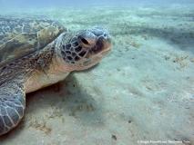 Marsa Alam - Turtle