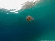 08 Scilla (Medusa)