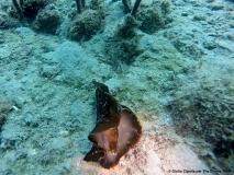 29 Cannitello (Lepre di mare)